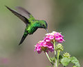 Hummingbird feeding photo taken in boquete western panama Stock Photography
