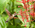 Hummingbird Feeding on a Red Buckeye Royalty Free Stock Photo