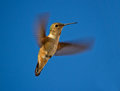 Hummingbird in flight Royalty Free Stock Image