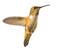 Hummingbird in flight isolated Stock Photography