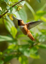 Hummingbird in flight a male rufous checking flowers for nectar Stock Photos