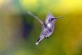 Hummingbird In Flight.