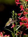 Hummingbird and the flowers. Royalty Free Stock Images