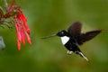 Hummingbird in fly. Flying bird from nature. Collared Inca, Coeligena torquata, dark green black and white hummingbird flying next Royalty Free Stock Photo