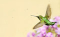 Hummingbird flying under sprinkler. Royalty Free Stock Photo