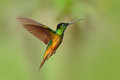 Hummingbird Golden-bellied Starfrontlet, Coeligena bonapartei, with long golden tail, beautiful action fly scene with open wings, Royalty Free Stock Photo