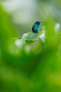 Hummingbird in green habitat. Hummingbird Green Violet-ear, Colibri thalassinus, with green flowers in natural habitat. Bird from Royalty Free Stock Photo