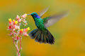 Hummingbird Green Violet-ear, Colibri thalassinus, fling next to beautiful ping orange yellow flower in natural habitat, bird from Royalty Free Stock Photo