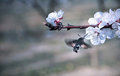 Hummingbird hawk moth pollinate a flower of cherry tree Royalty Free Stock Image