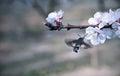 Hummingbird hawk moth pollinate a flower of cherry tree Royalty Free Stock Image