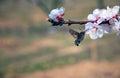 Hummingbird hawk moth pollinate a flower of cherry tree Royalty Free Stock Photos