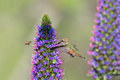 Hummingbird and honey bee sharing the pride of madera flower Royalty Free Stock Images
