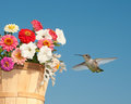 Hummingbird hovering next to a flower basket Royalty Free Stock Images