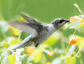 Hummingbird and Jewelweed Royalty Free Stock Photo