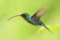 Hummingbird with long beak, Green Hermit, Phaethornis guy, clear light green background, Costa Rica