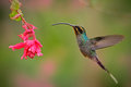 Hummingbird with long beak, Green Hermit, Phaethornis guy. Hummingbird with clear light green background Hummingbird action flying