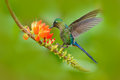 Hummingbird Long-tailed Sylph, Aglaiocercus kingi, with long blue tail feeding nectar from orange flower, beautiful action scene w Royalty Free Stock Photo