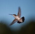 Hummingbird that is making a turn in mid air Stock Images