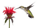 Hummingbird and monarda hovering over a crown of red a shows delight over a solitary flower tongue out lickng its beak the tiny Royalty Free Stock Photography