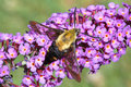 Hummingbird Moth Stock Image