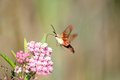 Hummingbird Moth Collecting Nectar Royalty Free Stock Photography