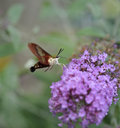 Hummingbird moth common clearwing sphinx or Royalty Free Stock Photos