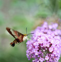 Hummingbird moth common clearwing sphinx or Stock Photos