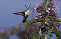 Hummingbird moth photograph of a pollinating at a butterfly bush Royalty Free Stock Images