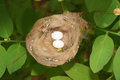 Hummingbird nest with eggs two viewed from above costa rica central america Stock Images