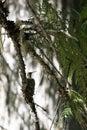 Hummingbird in nest Royalty Free Stock Photo