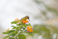 hummingbird, Olive-backed sunbird on flower Royalty Free Stock Photo