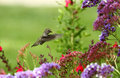 Hummingbird over flowers Royalty Free Stock Photo