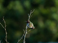 Hummingbird perches atop small branch a male a shrub Royalty Free Stock Photo