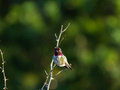 Hummingbird perches atop small branch a male a shrub Stock Photo