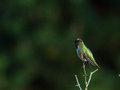 Hummingbird perches atop small branch a male a shrub Stock Image