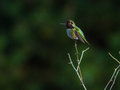 Hummingbird perches atop small branch a male a shrub Stock Photography