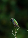 Hummingbird perches atop small branch a male a shrub Royalty Free Stock Photos