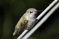 Hummingbird portrait close up view of resting on a branch Royalty Free Stock Photo