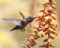 Hummingbird possibly immaure anna s lapping up insects inside a dyckia fosteriana blossom Stock Images