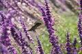 Hummingbird and purple flowers Royalty Free Stock Photo