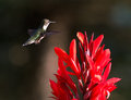 Hummingbird and red cana a female ruby throated hovers near a brilliant canna flower Stock Photos