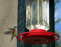 Hummingbird in the rocky mountains ready to drink Stock Images