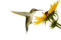 Hummingbird ruby throated female hovering at a sunflower isolated on white Stock Photography