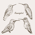 Hummingbird set of bird collection tropical wild life Royalty Free Stock Image
