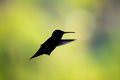 Hummingbird silhouette of a on a green bokeh background Stock Photos