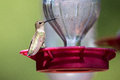 Hummingbird sitting on feeder in summer at for nectar Stock Image