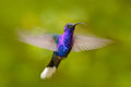 Hummingbird Violet Sabrewing, Campylopterus hemileucurus, flying in the tropical forest, La Paz, Costa Rica. Bird in fly, blue hum Royalty Free Stock Photo