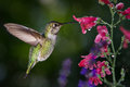 Hummingbird visits flowers with raindrops Royalty Free Stock Photo
