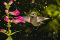 Hummingbird visits flowers in raining day Royalty Free Stock Photo