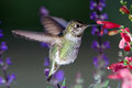 Hummingbird visits pink flowers with purple flowers in background Royalty Free Stock Photo